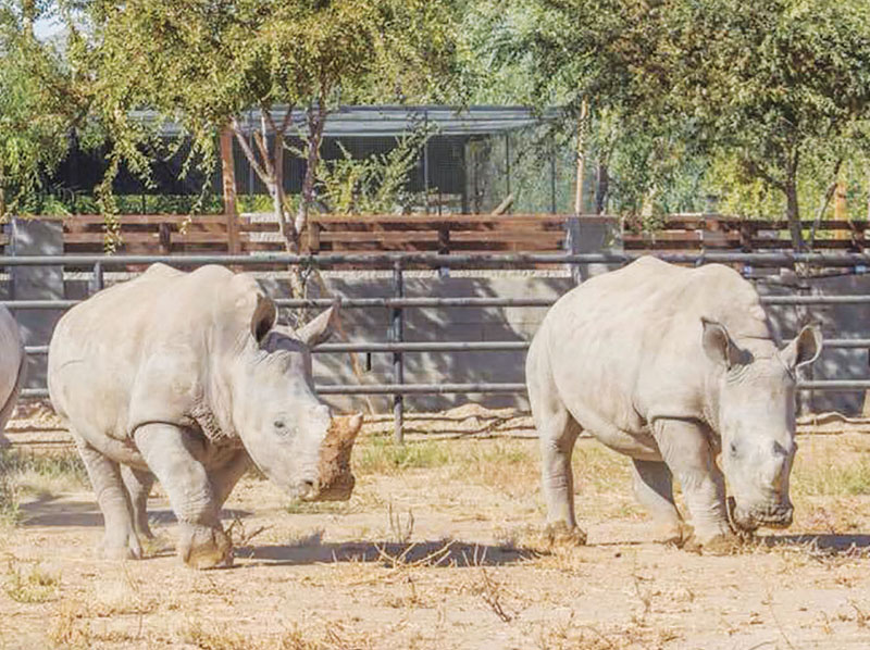 Two of the three white rhinos at Wildlife World Zoo