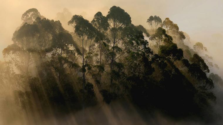 Tree Of The Week: Eucalyptus Microtheca - Coolibah